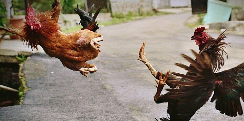 Rooster Training Basics
